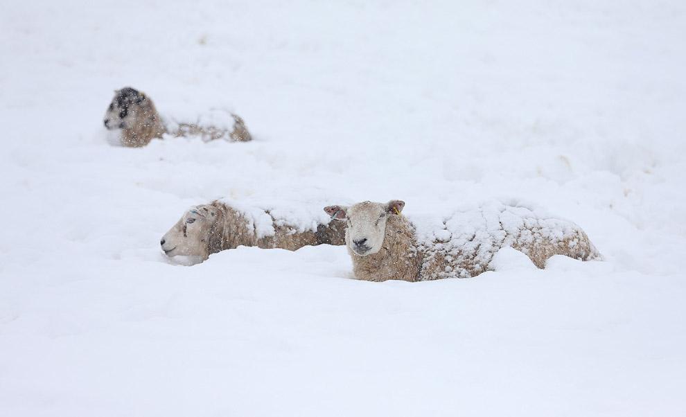 Овцы стоят в глубоком снегу в графстве Дербишир