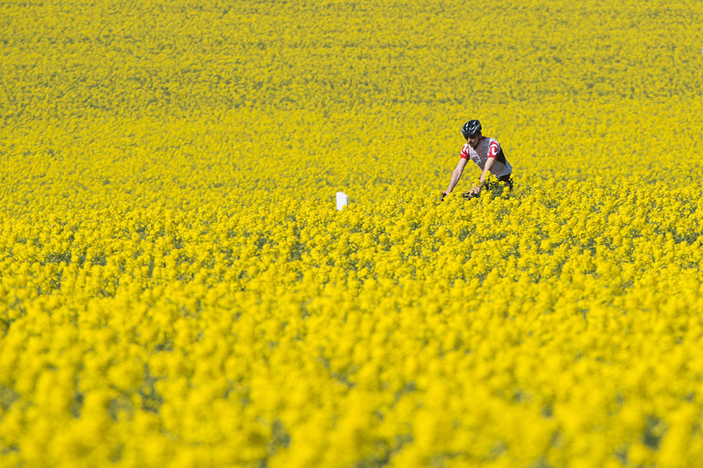 Велосипедист на рапсовом поле в Восточной Германии