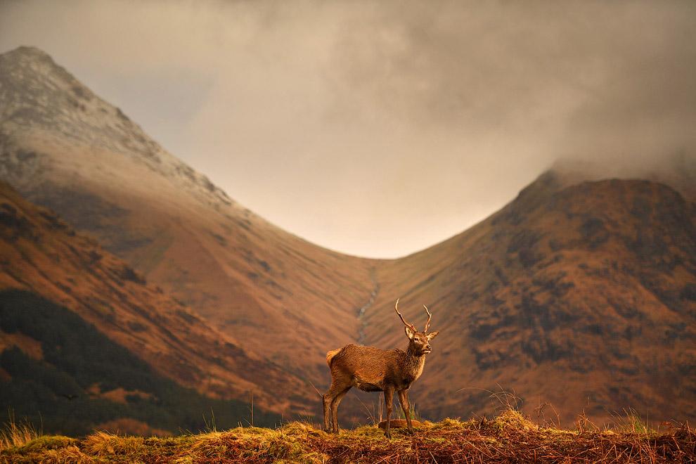 Олень пасется в Шотландии после окончания гона