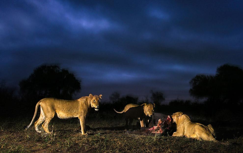 Львицы поймали добычу
