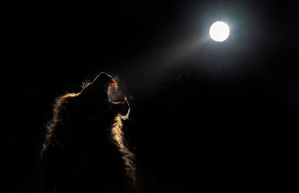 Лев обозначает свои владения рыком под Луной