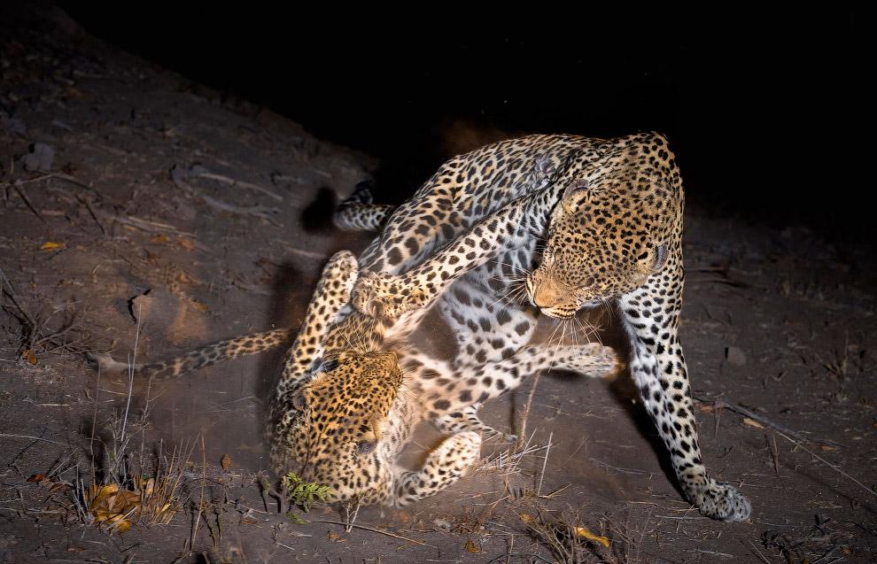 Разборки леопардов