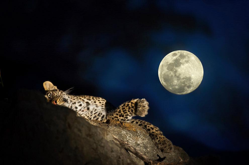 Леопард на дереве под Луной