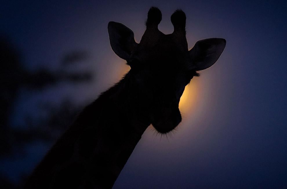 Жираф под Луной