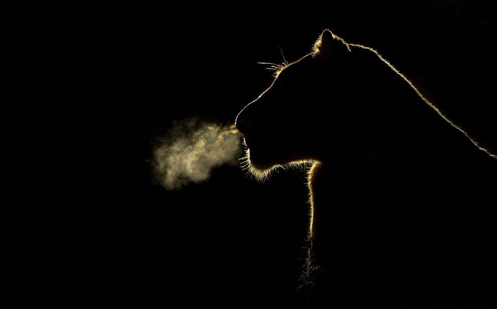 Силуэт львицы в ночи