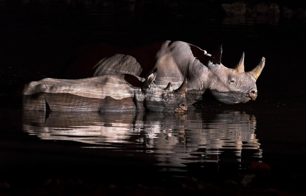 Семья носорогов купается ночью