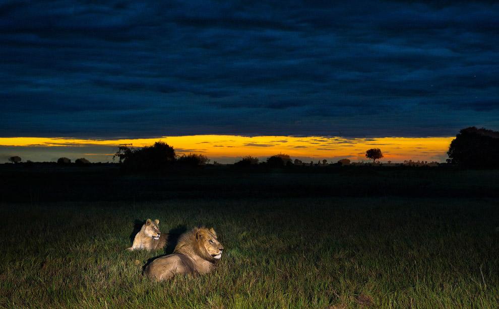 Вот так идешь ночью, идешь, а тут в траве и темноте лев лежит