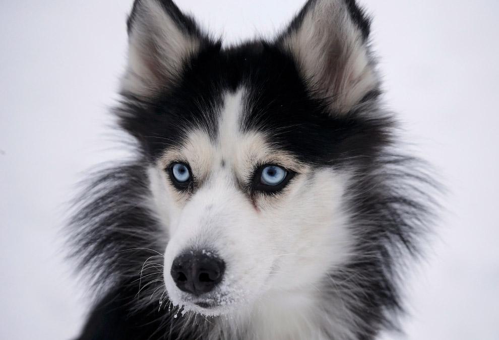 Гонки на собачьих упряжках в Свердловской области