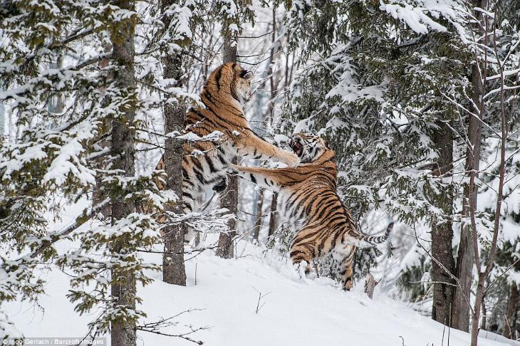 Бой больших кошек