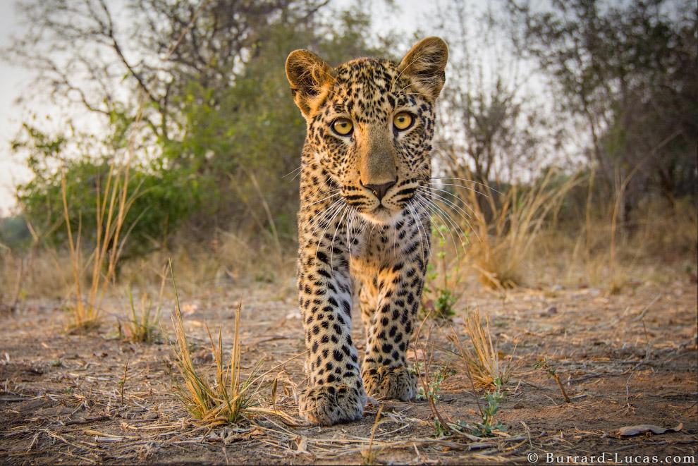 Леопар