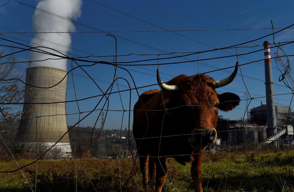 Корова и тепловая станция в Испании