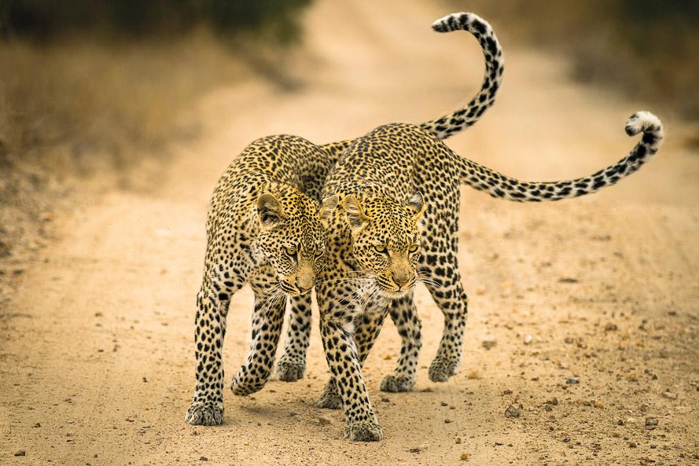 Семья леопардов, Южная Африка