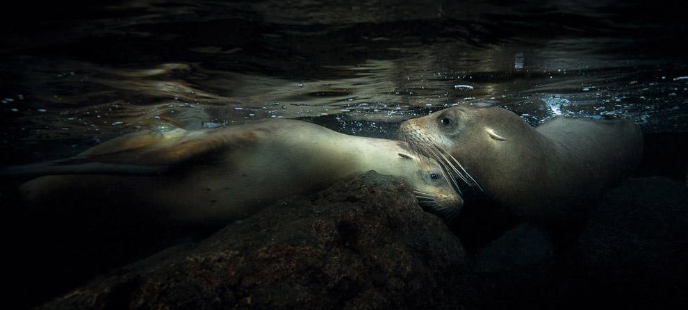 Подводное плавание с колонией калифорнийских морских львов