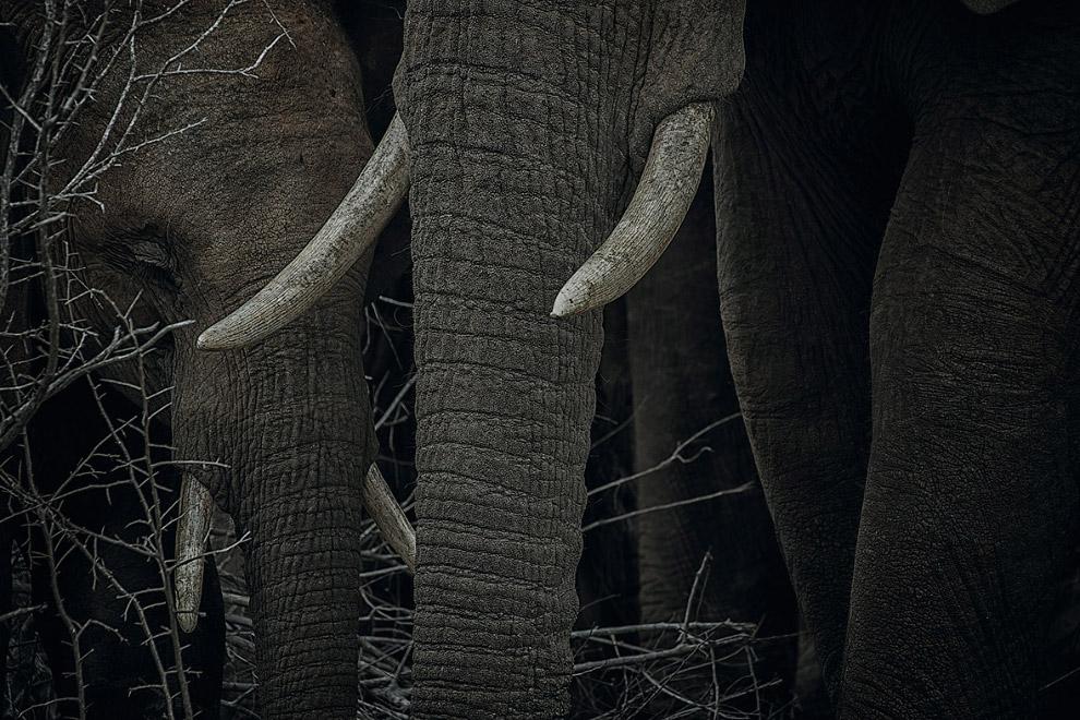 Слоны в Национальном парке Крюгера, Южная Африка