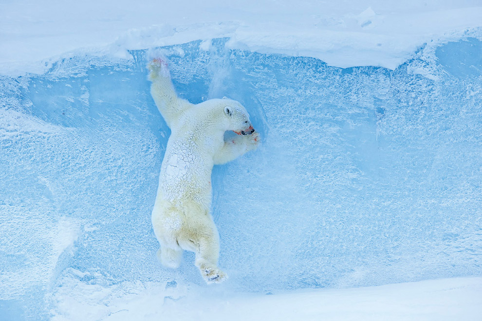 Белая медведица спускается с айсберга на Баффиновой Земле, Канада
