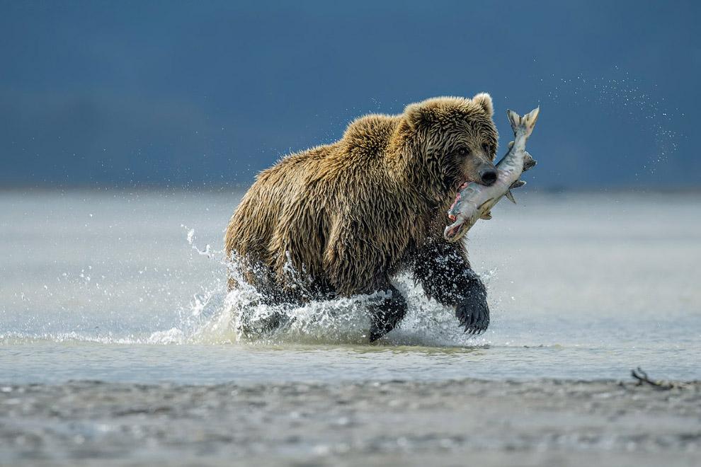 Медведь-рыболов, Национальный парк Лейк-Кларк, Аляска
