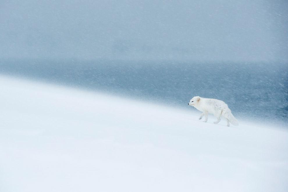Песец в непогоду патрулирует территорию, Исландия