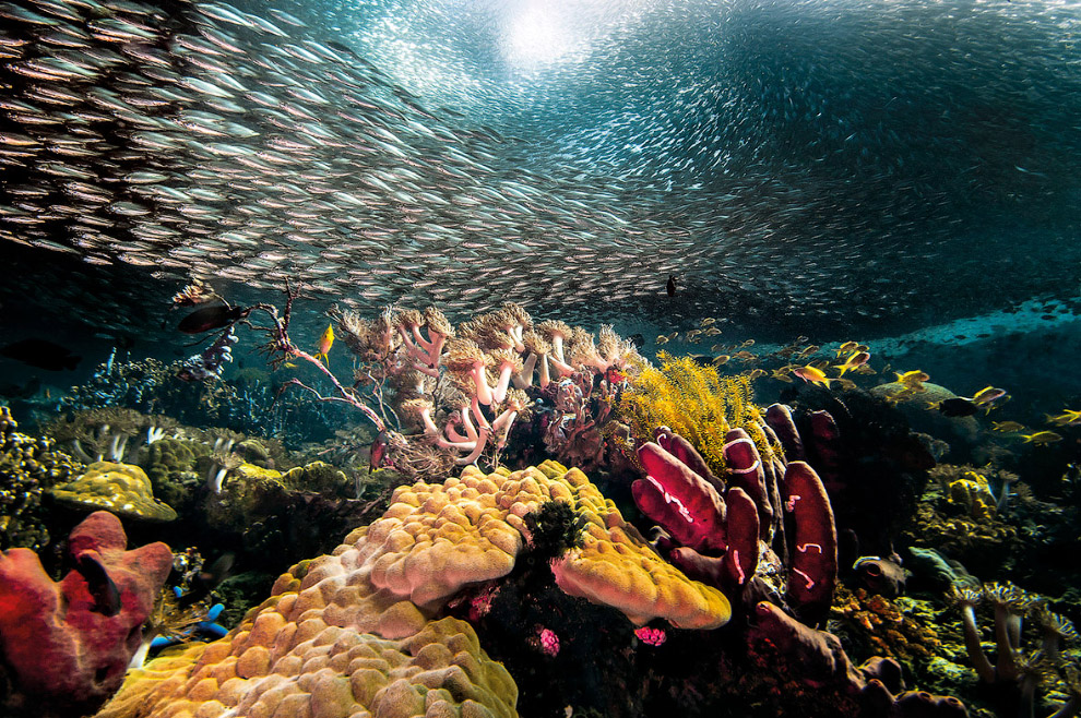 Подводный мир и косяк сардин, Себу, Филиппины