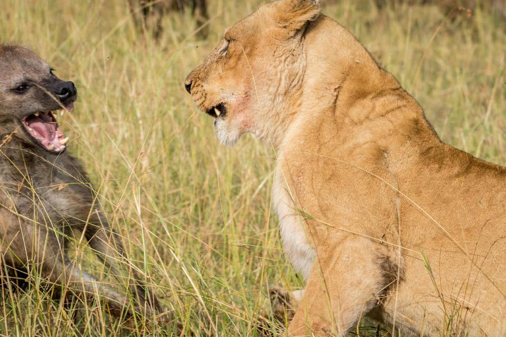 Лев и гиена