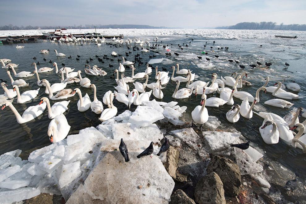 Лебеди на зимнем Дунае в Белграде, Сербия
