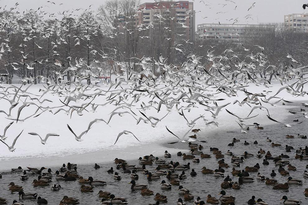 Стая птиц над зимнем озером в Бухаресте, Румыния