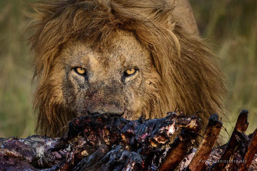 Лев с добычей