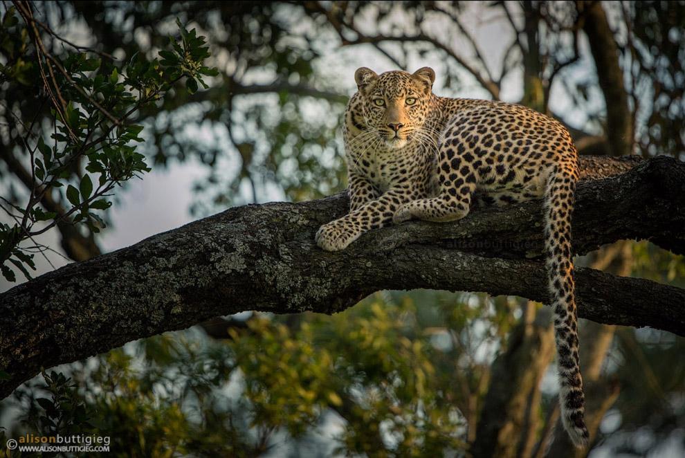 Леопард.