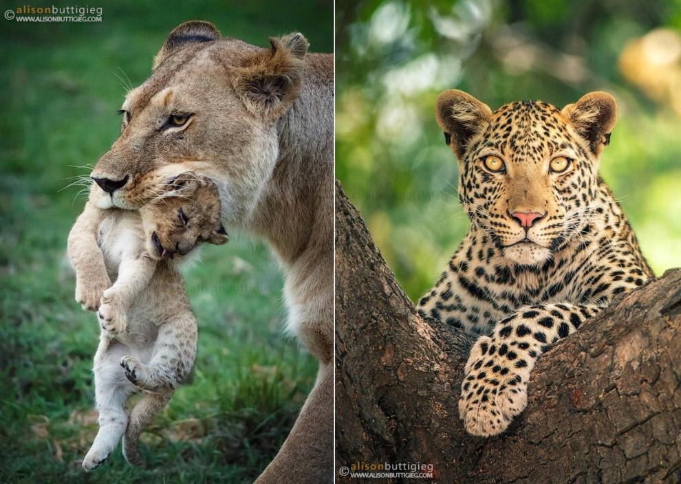 Львица со львенком и леопард