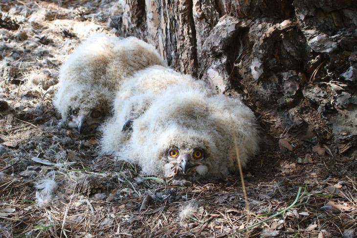 Алтайские филины в опасности!