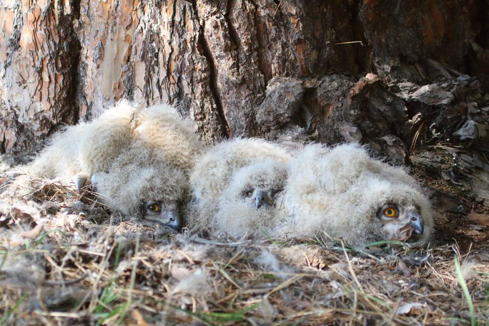 Алтайские филины