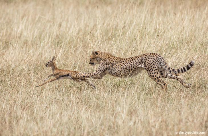 Дикая диета. Сколько «влезает» в слона, льва, бегемота, леопарда..?