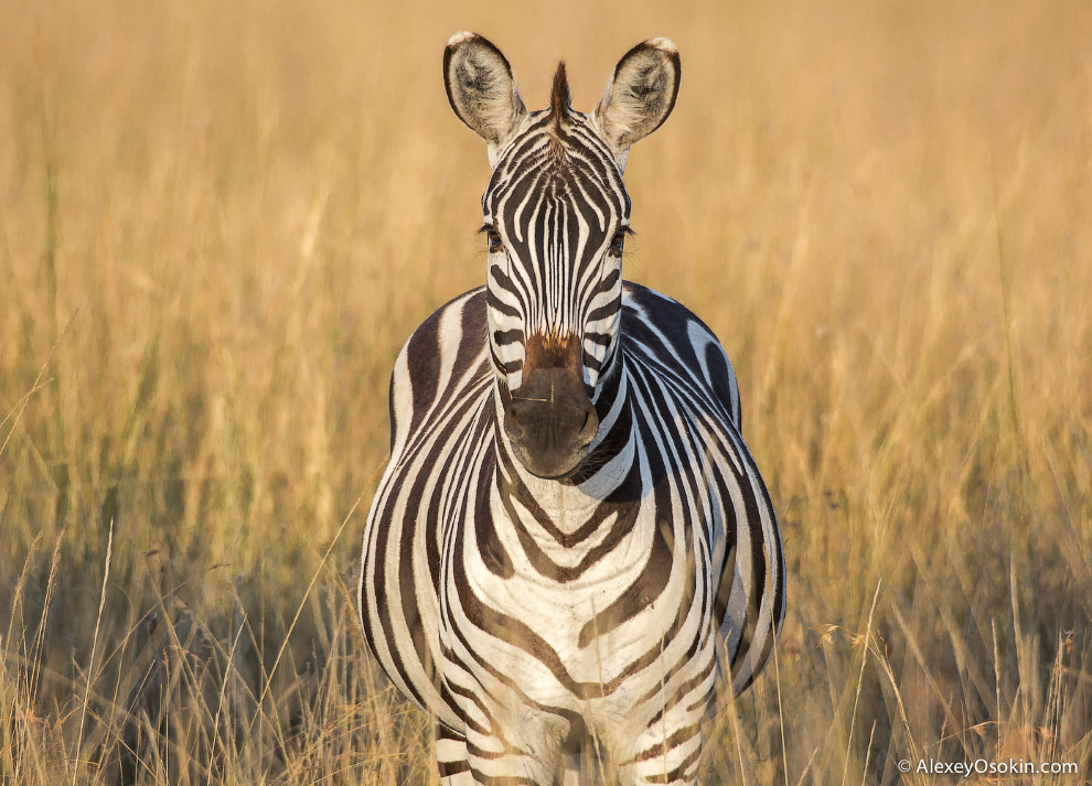 Зебры и антилопы гну