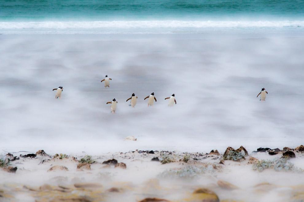 Танцующие пингвины на Фолклендских островах, которые борются с сильным ветром