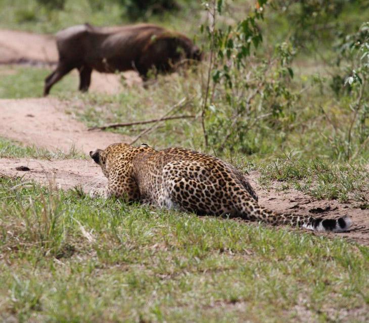 Бородавочник еще не видит леопарда, и не знает, то жить ему осталось несколько секунд