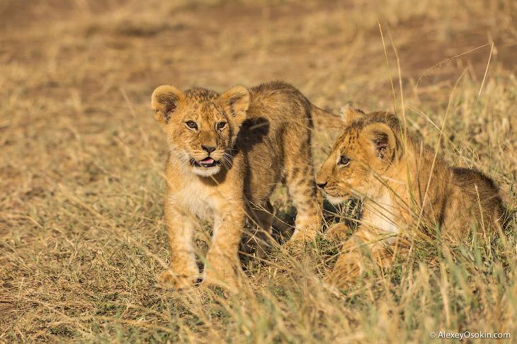 Один львиный прайд