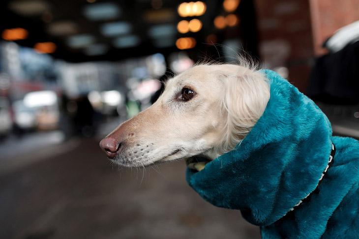 Салюки — порода борзых собак