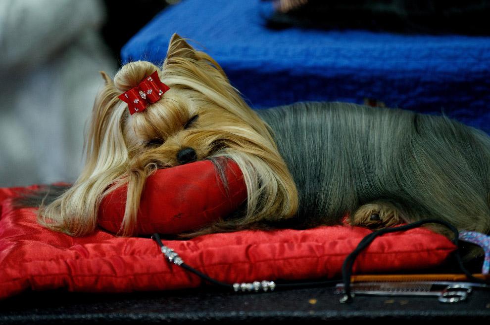 Йоркширский терьер совсем не проявляет интереса к престижной выставке собак Westminster Kennel Club 2017