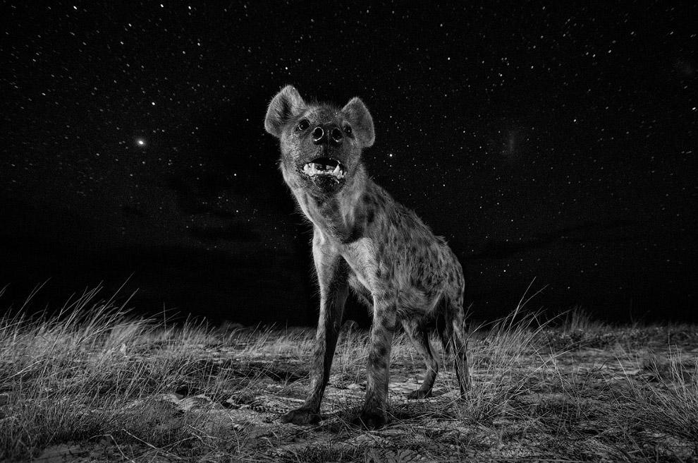Пятнистая гиена ночью в Африке