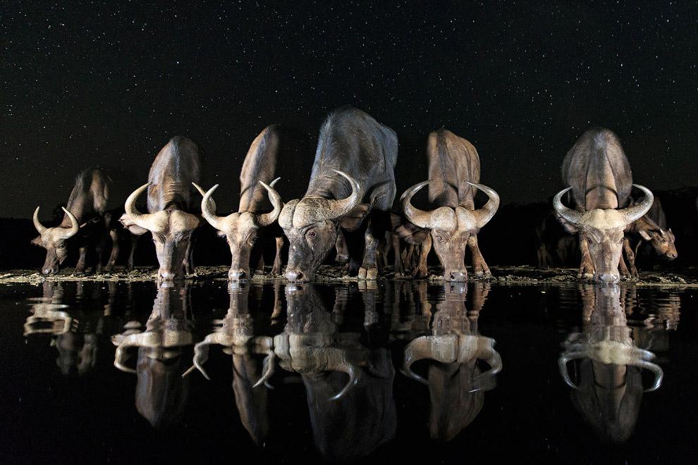 Буйволы на водопое ночью в Африке