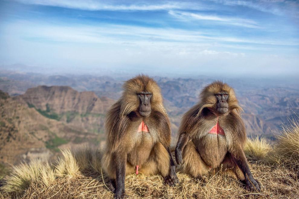 Пара бабуинов в Эфиопии