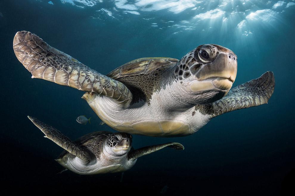 Зеленые черепахи