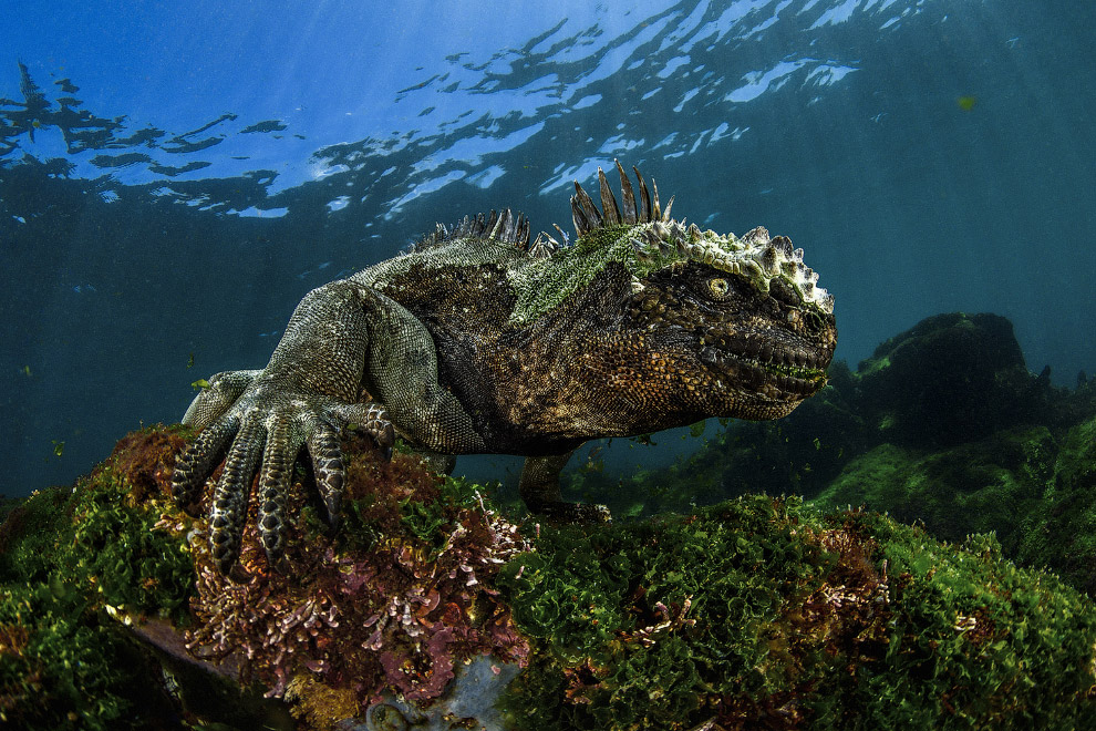 Морская игуана на Галапагосах