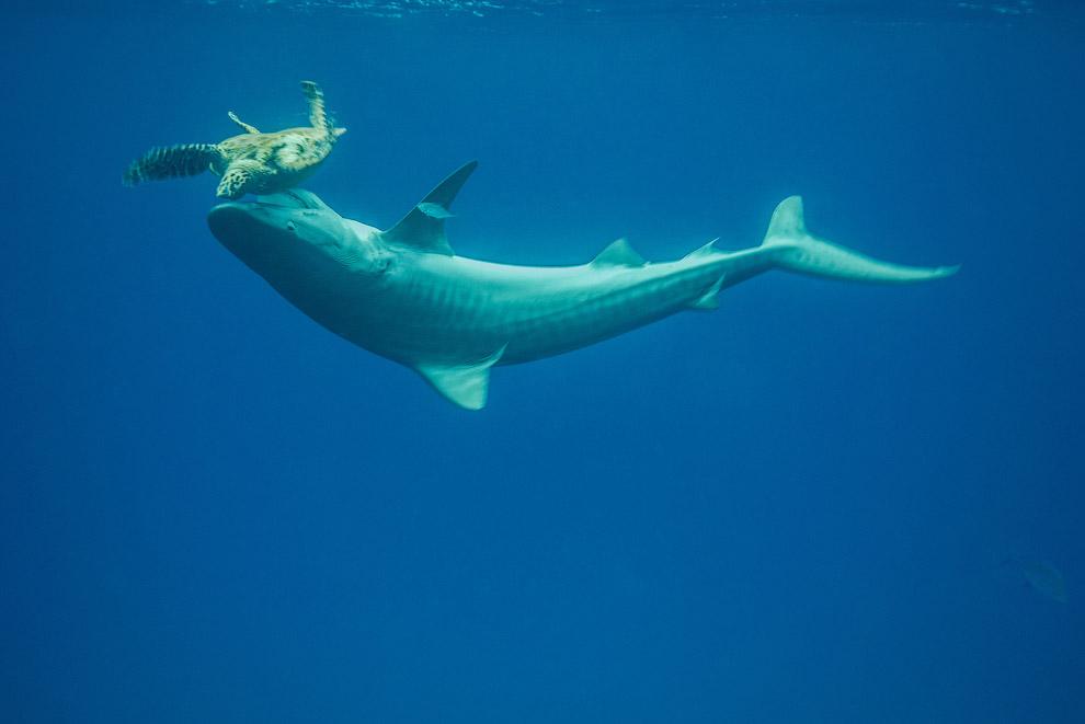 4 метровая тигровая акула