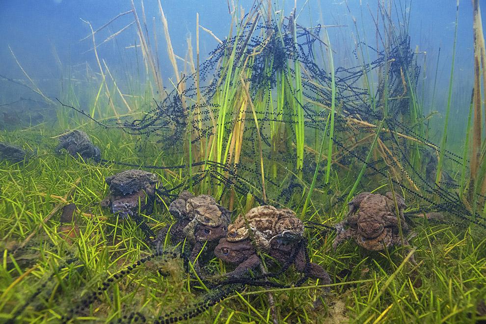 Групповое спаривание жаб
