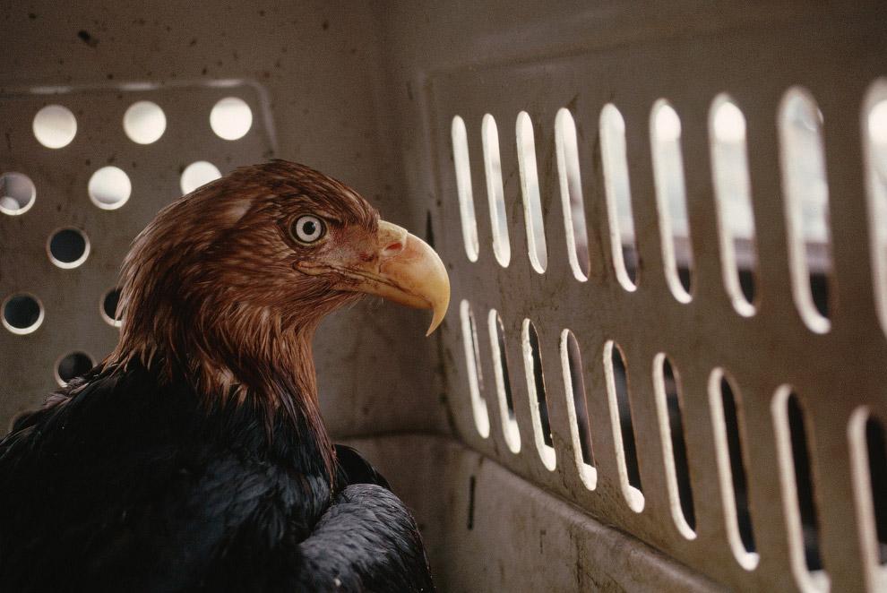 Орел в нефти