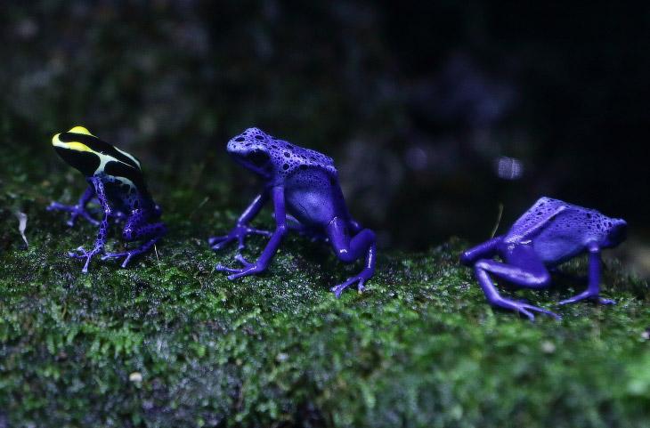 Эти красивые лягушки из сингапурского аквариума