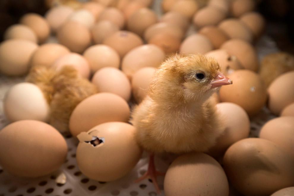 Цыплёнок внутри инкубатора на сельскохозяйственной выставке в Париже