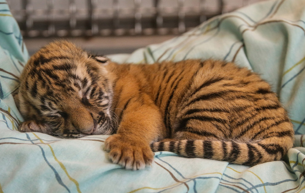 2-недельный тигренок в зоопарке Цинциннати, штат Огайо