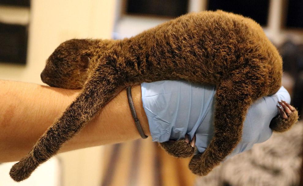 двупалый ленивец