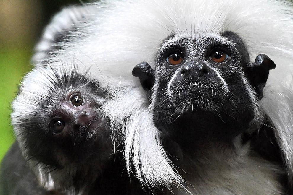 Эдиповы игрунки - обезьяны из рода тамаринов